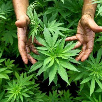Medical Marijuana - Credit: News.vice.com